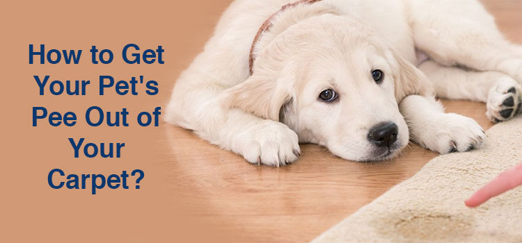 How to Get Your Pet's Pee Out of Your Carpet?